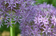 Allium for All